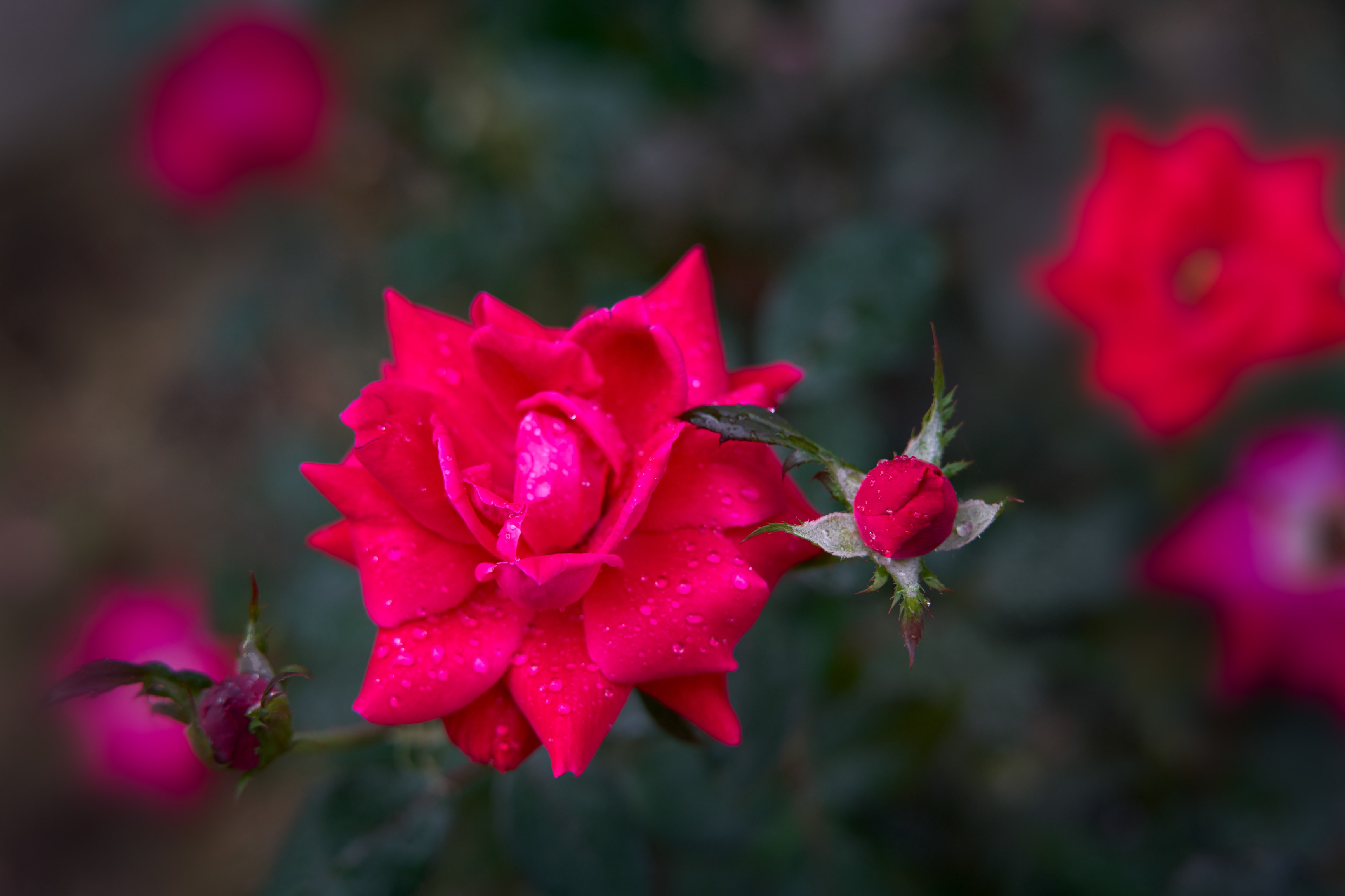 rose bud and full bloom flower.JPG