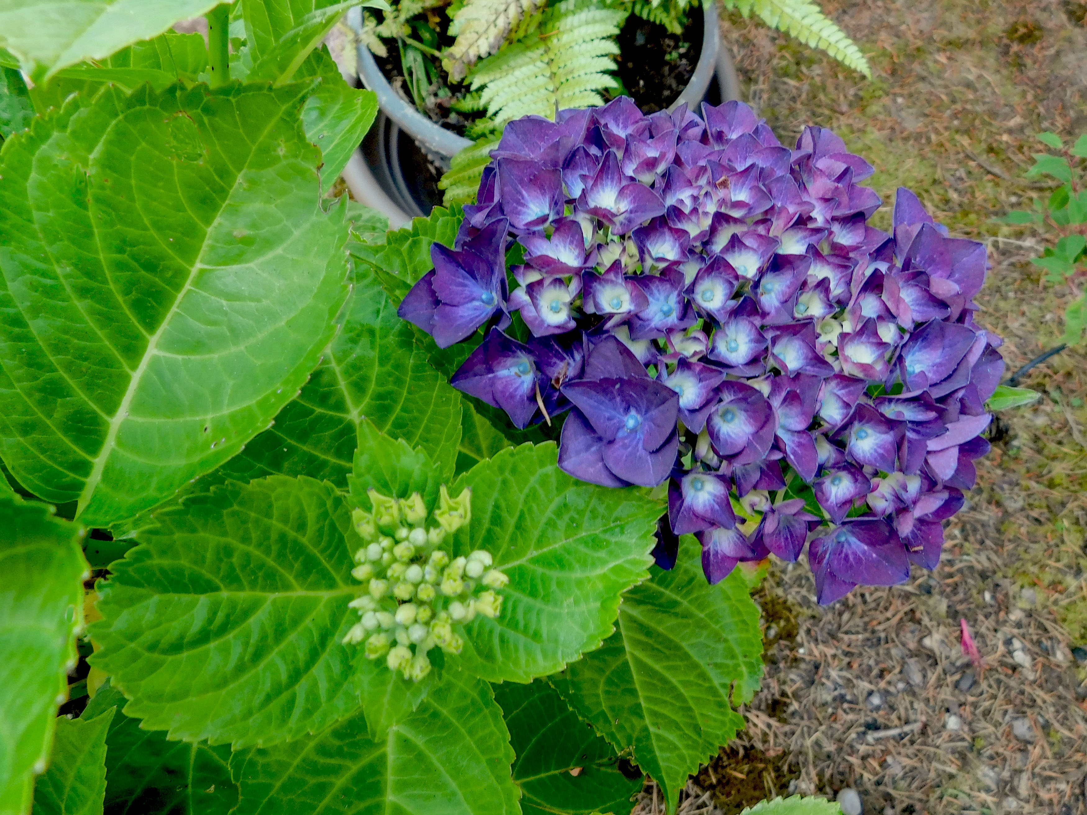 Hydranga large bloom purple close.jpg