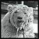 pbear*