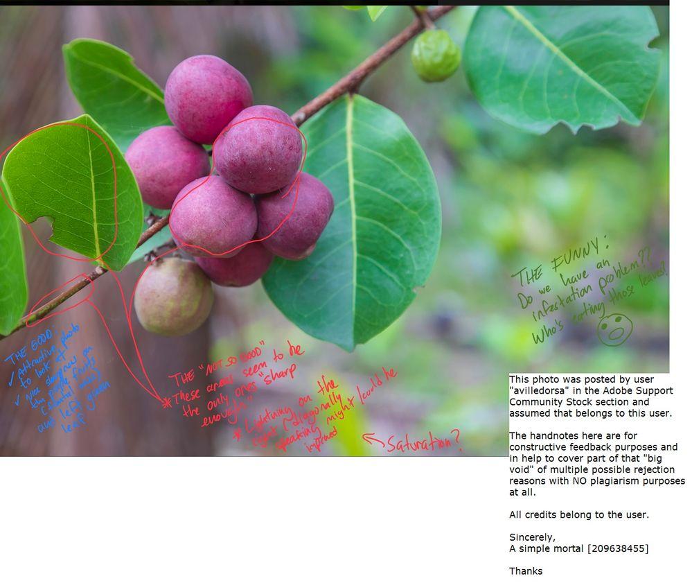 avilledorsa--Ripe_fat_poke_(Chrysobalanus_icaco)_in_a_bunch_on_a_branch.jpg