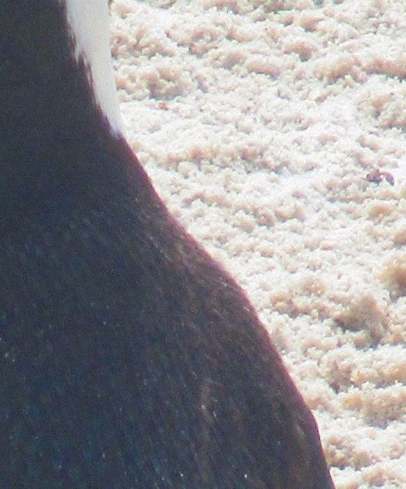 African Penguinchroma....jpg