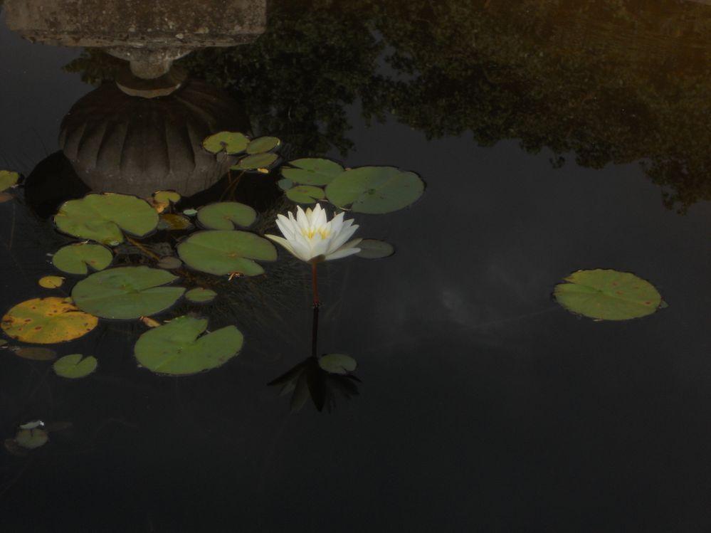 Pond Lily.JPG