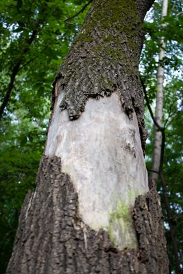Title: Old Tree Trunk