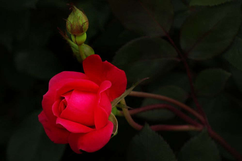 42319_lowes_rose_and_bud_master4mp.jpg