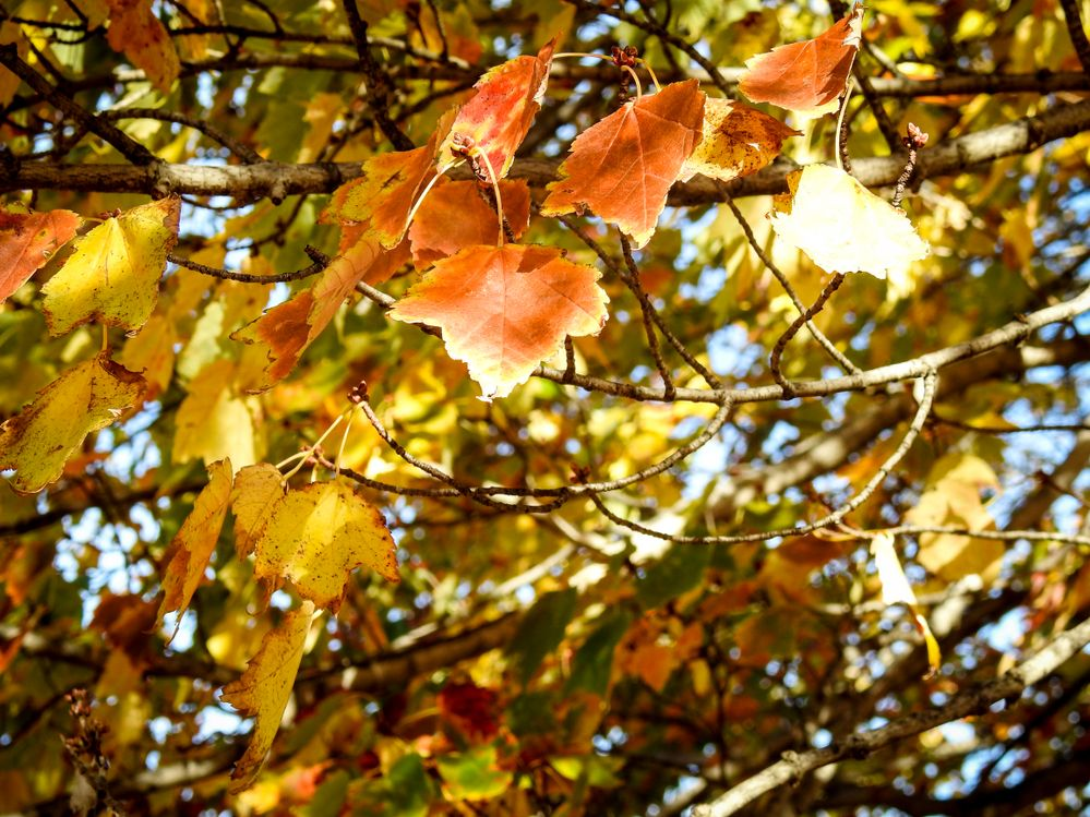 Fall leaves 1.jpg