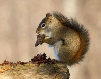 Squirrel Snackwhitebalance.jpg