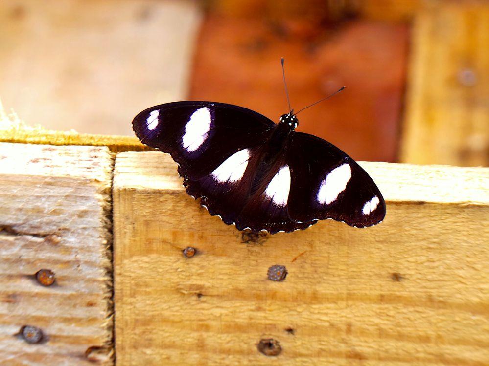 butterfly wooda.JPG