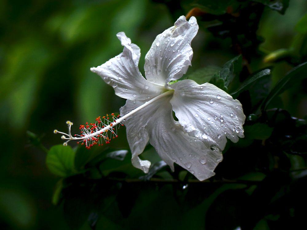 White hibiscus blur .JPG