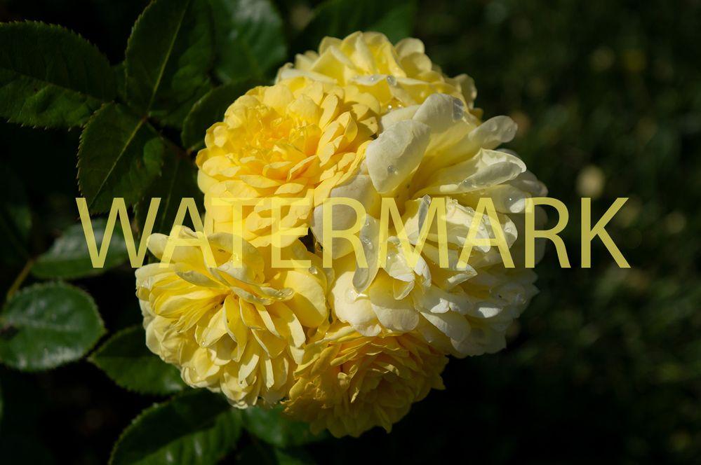 roses2forum.jpg