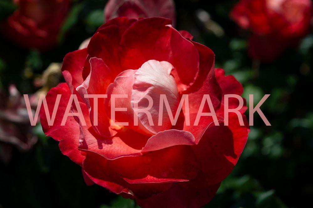 roses11forum.jpg