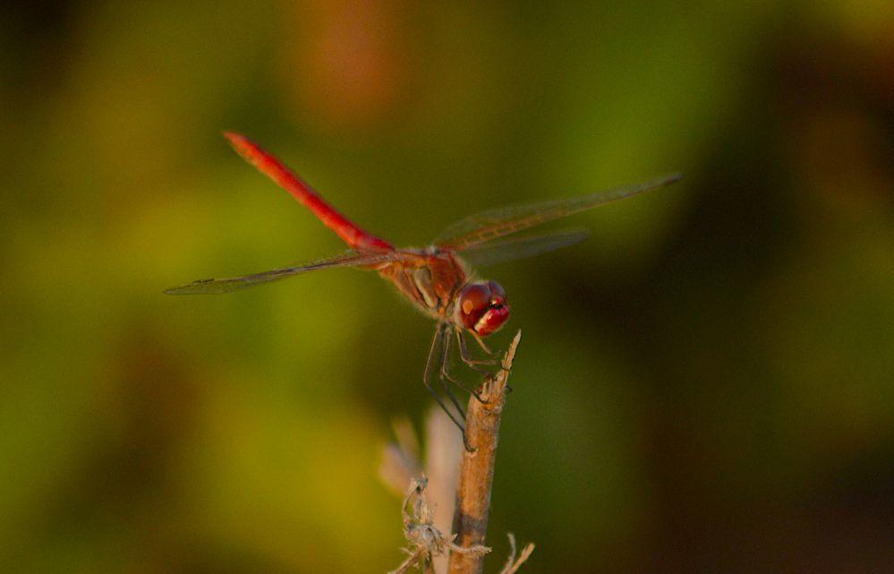 dragonfly1.jpg