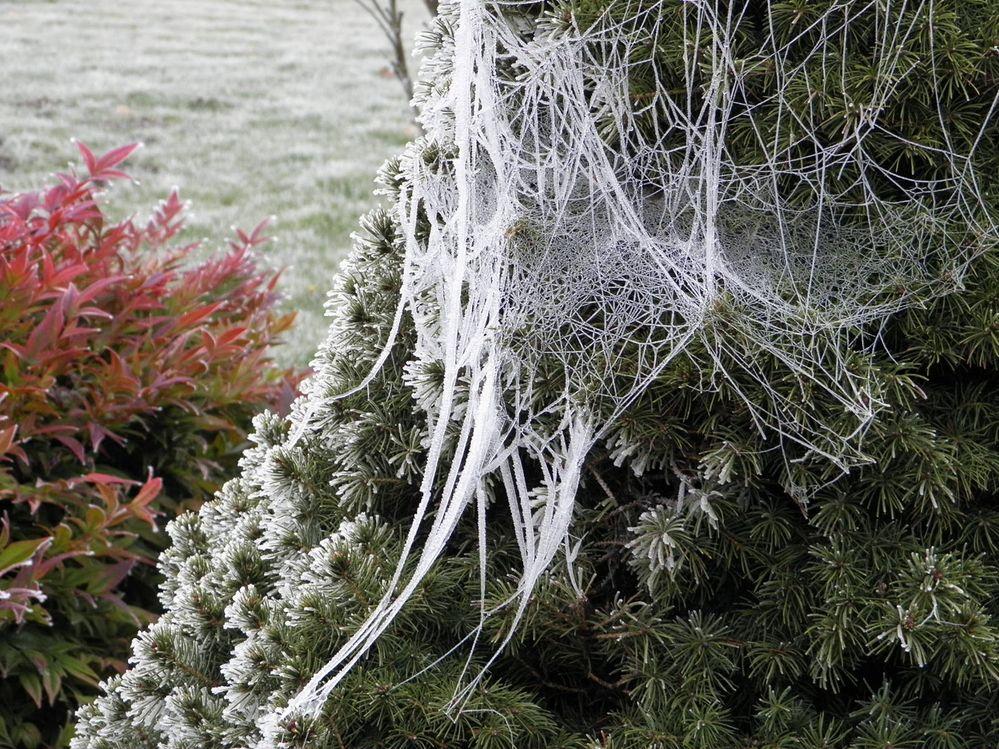 Frost web in evergreen branch series5.jpg