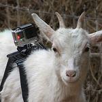 Goat Pro