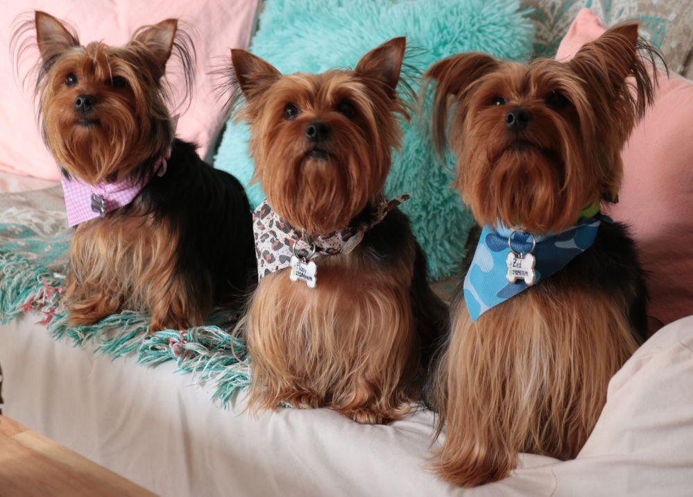 3 Perros Yorkshire Terrier sentados en un sillon.jpg