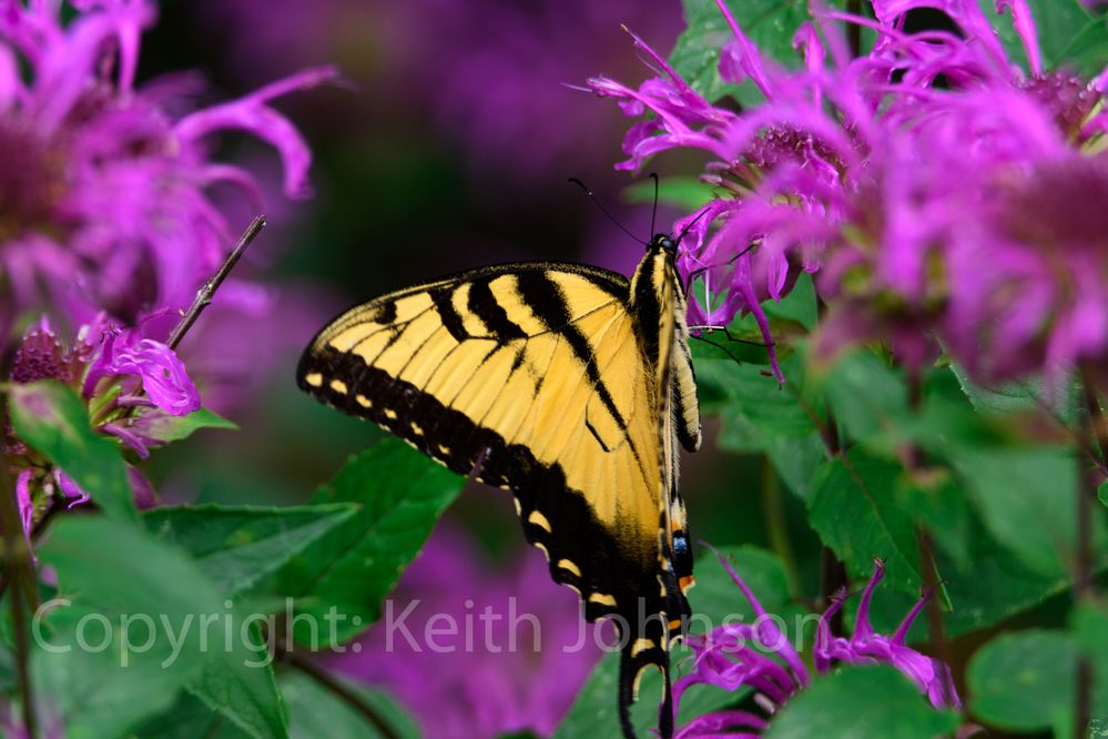 Black And Yellow Butterfly On Purple Flowers-1460 copy.jpg