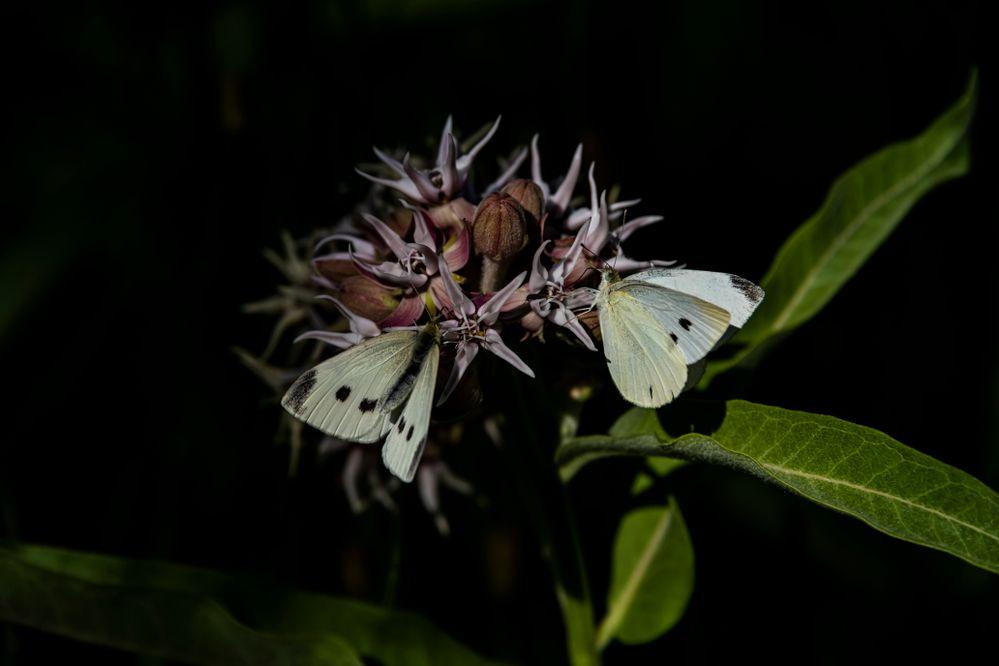 Cabbage White (Pieris rapae) Butterfly _DSC8445 .jpg