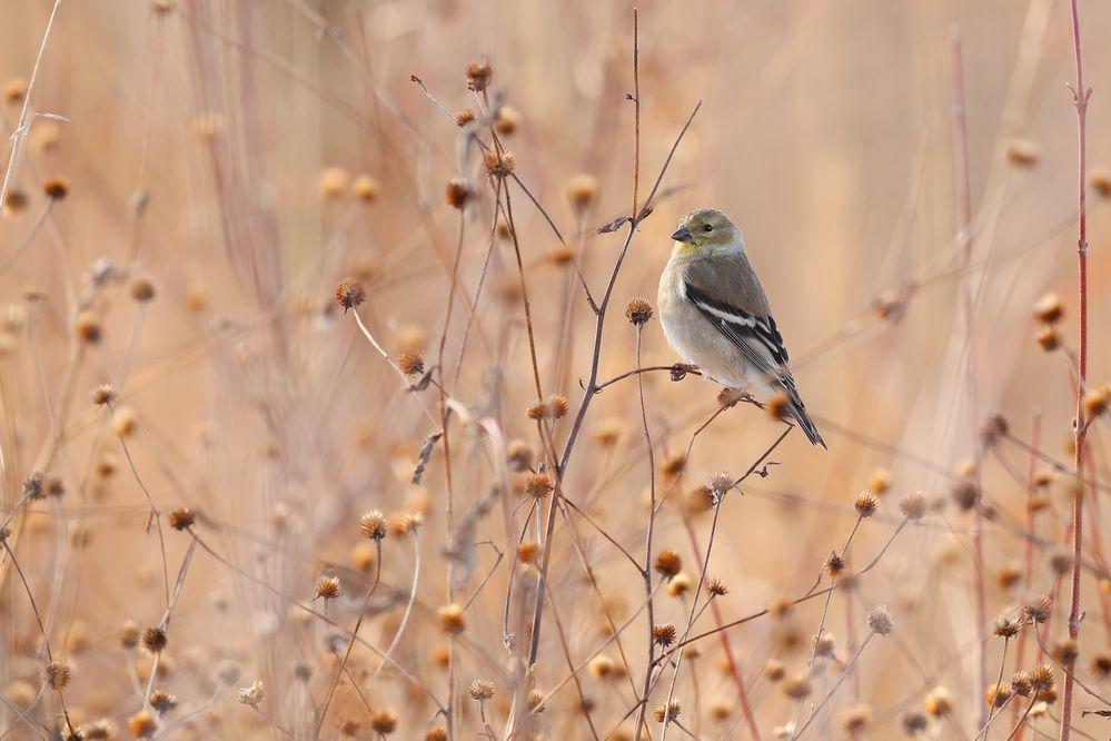 Goldfinch Perching on a Twig.jpg