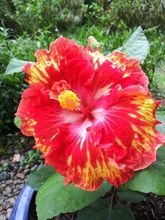 hibiscus.first.edit.jpg