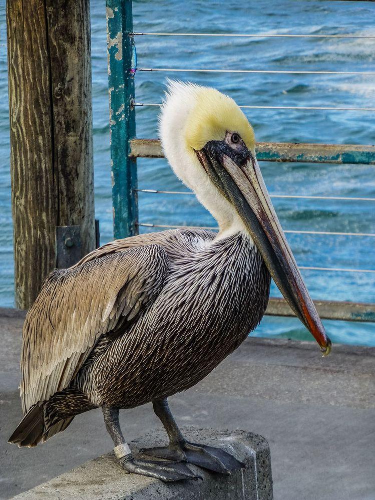 Pelican001_b.jpg